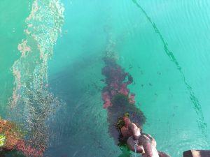 牛深港桟橋のお魚さん